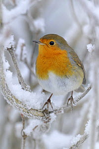 Robin (Erithacus rubecula) perched in snow, Wales, UK (non-ex) January *NB - Not available for greeting card use worldwide until 01 January 2014* - Andy Rouse