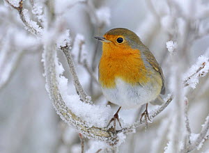 Robin (Erithacus rubecula) perched in snow, Wales, UK (non-ex) January - Andy Rouse