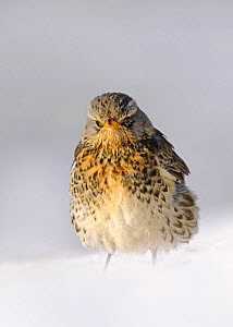 Fieldfare (Turdus pilaris) in snow, Wales, UK (non-ex) January  -  Andy Rouse