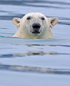 Polar Bear (Ursus maritimus) swimming Svalbard, Norway (non-ex).  Cropped from image 01262709  -  Andy Rouse