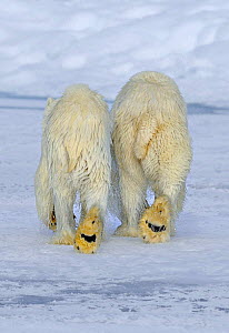 Polar Bear (Ursus maritimus) mother and cub (18 months) walking away after swimming, Svalbard, Norway (non-ex). This image is a crop of 01262710 - Andy Rouse