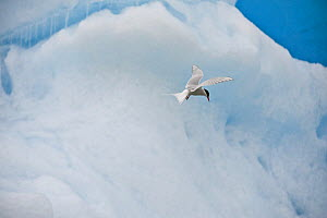 Arctic Tern (Sterna paradisaea) flying past an iceberg, Svalbard, Norway - Andy Rouse