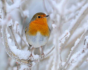RF- European Robin (Erithacus rubecula) perched in snow, Wales, UK, January. (This image may be licensed either as rights managed or royalty free.)  -  Andy  Rouse