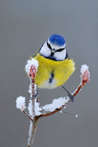 Blue Tit (Parus caeruleus) perched in snow, Wales, UK, January - Andy Rouse