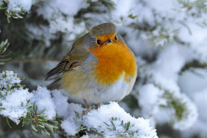 European Robin (Erithacus rubecula) perched in snow, Wales, UK, January - Andy Rouse
