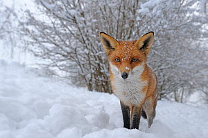 European Red Fox (Vulpes vulpes) in snow, UK, captive - Andy Rouse
