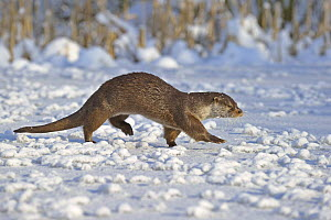European Otter (Lutra Lutra) walking across snow, UK, captive  -  Andy Rouse