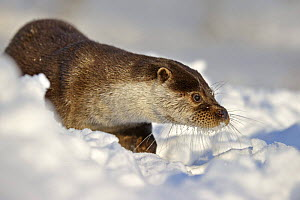 European Otter (Lutra Lutra) in deep snow, UK, captive  -  Andy Rouse