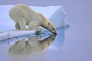 Polar Bear (Ursus maritimus) about to enter water, Svalbard, Norway, September 2009  -  Andy Rouse