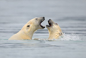 Polar Bear (Ursus maritimus) mother and cub playing in water, Svalbard, Norway, September 2009 - Andy Rouse