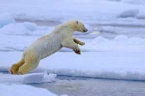 Polar Bear (Ursus maritimus) jumping between ice sheets, Svalbard, Norway, September 2009  -  Andy Rouse