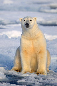 RF- Polar Bear (Ursus maritimus) sitting on pack ice, Svalbard, Norway, September 2009. Endangered species. (This image may be licensed either as rights managed or royalty free.)  -  Andy  Rouse