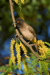 African red-eyed bulbul (Pycnonotus nigricans) with caterpillar, Namibia, Africa, November - Chris Gomersall