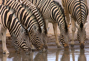 Hartmann's mountain zebras (Equus zebra hartmannae) drinking at water hole, Etosha National Park, Namibia, November  -  Chris Gomersall