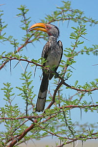Male Southern yellow billed hornbill (Tockus leucomelas) perched in acacia tree, Etosha National Park, Namibia, November  -  Chris Gomersall