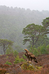 Golden eagle (Aquila chrysaetos) sub-adult in winter snow shower, captive bird, Speyside, Scotland, February - Chris Gomersall