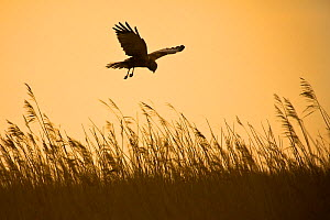 Male Marsh harrier (Circus aeruginosus) in flight, hunting over reedbed at sunrise, Norfolk, England, May - Chris Gomersall