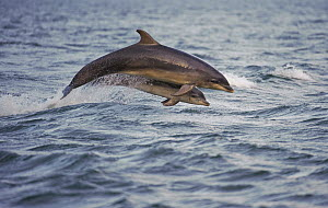 Bottlenose dolphin (Tursiops truncatus) with young breaching, Moray Firth, Scotland, June - Chris Gomersall