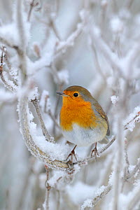 European Robin (Erithacus rubecula) perched in snow, Wales, UK, January  *NB - Not available for greeting card use worldwide until 31st January 2014* - Andy Rouse