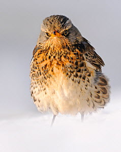 Fieldfare (Turdus pilaris) with feathers fluffed up in snow, Wales, UK (non-ex)  -  Andy Rouse