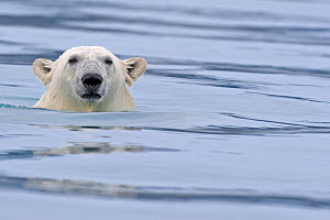 Polar Bear (Ursus maritimus) swimming, Svalbard, Norway (non-ex) September 2009. Image 01262526 is cropped from this frame  -  Andy Rouse