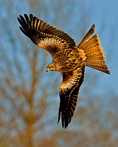 Red Kite (Milvus milvus) in flight, Wales, UK  -  Andy Rouse