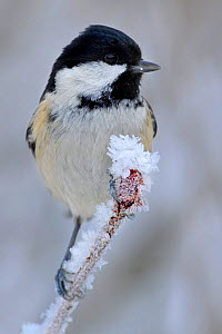 Coal Tit (Periparus ater) perched in snow, Wales, UK, January  -  Andy Rouse