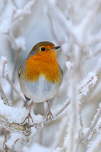 European Robin (Erithacus rubecula) perched in snow, Wales, UK - Andy Rouse