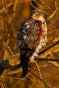 Sparrowhawk (Accipiter nisus) female perched in tree in morning light, Wales, UK  -  Andy Rouse