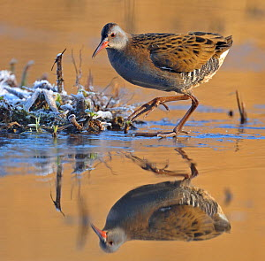 Water Rail (Rallus aquaticus) on frosty ground beside water, Wales, UK  -  Andy Rouse
