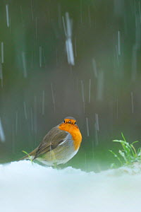 European Robin (Erithacus rubecula) in snow, Wales, UK - Andy Rouse