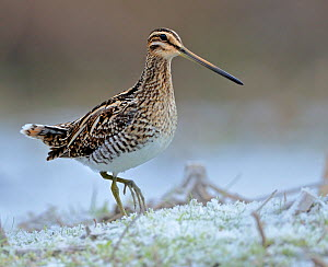 Common Snipe (Gallinago gallinago) on frosty ground, Wales, UK - Andy Rouse
