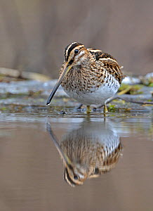 Common Snipe (Gallinago gallinago) at water, Wales, UK  -  Andy Rouse