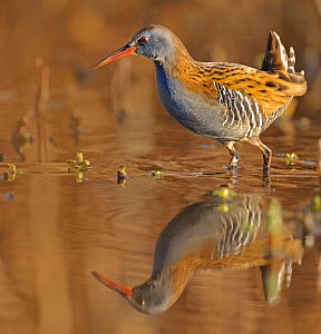Water Rail {Rallus aquaticus} in water, Wales, UK  -  Andy Rouse