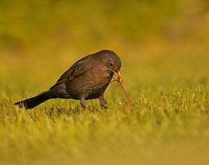 Blackbird (Turdus merula) pulling worm from ground in garden, UK  -  Andy Rouse