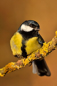 Great tit (Parus major) perched on branch, UK - Andy Rouse