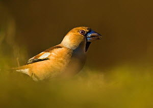 Hawfinch (Coccothraustes coccothraustes) feeding on ground, UK  -  Andy Rouse