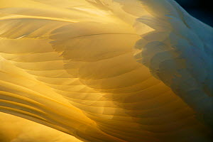 Mute swan (Cygnus olor) close-up of backlit feathers, UK - Andy Rouse