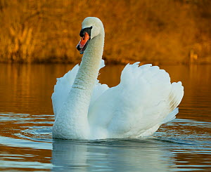 Mute swan (Cygnus olor) aggressive cob on water, Wiltshire, UK  -  Andy Rouse
