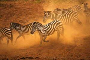 Common / Burchell's zebra (Equus quagga) running, kicking up dust, Masai Mara, Kenya - Andy Rouse