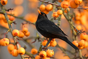 Blackbird (Turdus merula) perched in crab apple tree, Wiltshire, UK - Andy Rouse