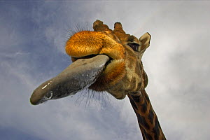 Masai giraffe (Giraffa camelopardalis tippelski) showing long tongue, captive, Marwell Zoo, UK  -  Andy Rouse