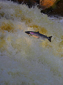 Atlantic salmon (Salmo salar) jumping waterfall during migration to spawn, Scotland. (non-ex) - Andy Rouse