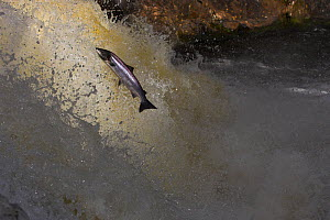 Atlantic salmon (Salmo salar) jumping waterfall during migration to spawn, Scotland, (non-ex) - Andy Rouse