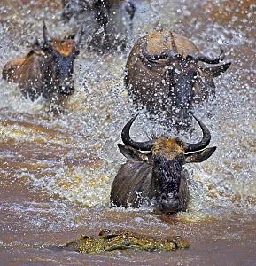 Common wildebeest (Connochaetes taurinus) on migration with Nile crocodile (Crocodylus niloticus) waiting in water, Masai Mara, Kenya  -  Andy Rouse