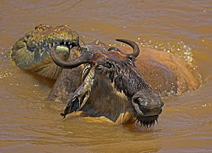Common wildebeest (Connochaetes taurinus) being held by crocodile during migration river crossing, Masai Mara, Kenya  -  Andy Rouse