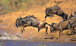 Common wildebeest (Connochaetes taurinus) crossing river on migration, Masai Mara, Kenya - Andy Rouse