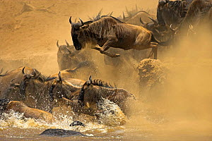 Common wildebeest (Connochaetes taurinus) jumping into Mara River during migration, Masai Mara, Kenya - Andy Rouse