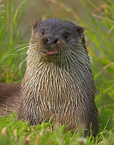 European otter (Lutra lutra) on riverbank, sticking out tongue, captive, UK  -  Andy Rouse