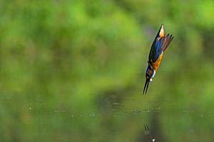 Common kingfisher (Alcedo atthis) diving into water hunting for fish, UK - Andy Rouse